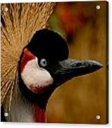 Crowned Crane  Acrylic Print