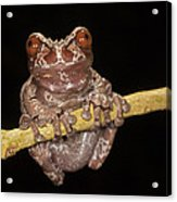 Crowned Frog Costa Rica Acrylic Print