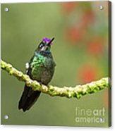 Crowned Hummingbird Acrylic Print