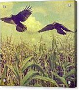 Crows Of The Corn Acrylic Print