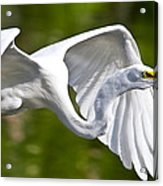 Cruising Egret Acrylic Print