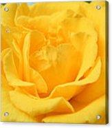 Crying Yellow Rose Acrylic Print