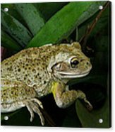 Cuban Tree Frog And Bromeliad. Acrylic Print