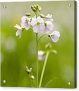 Cuckooflower Acrylic Print