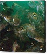 Cunner Fish Nova Scotia Acrylic Print