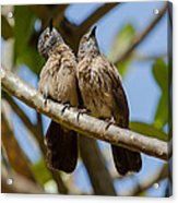 Curious Brown Babblers Acrylic Print