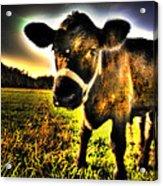 Curious Calf Dark Acrylic Print