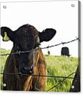 Curious Calf Looking Through Barbed Wire Fence Acrylic Print