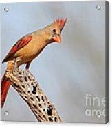 Curious Cardinal Acrylic Print