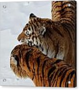 Curious Cats Acrylic Print