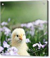 Curious Chick Acrylic Print