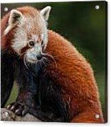 Curious Critter Acrylic Print