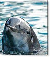 Curious Dolphin Acrylic Print by Mariola Bitner