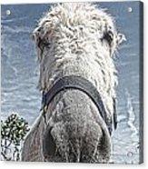 Curious Donkey Acrylic Print