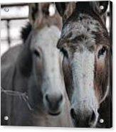 Curious Donkeys Acrylic Print