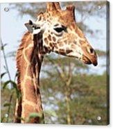 Curious Giraffe 2 Acrylic Print