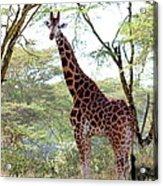 Curious Giraffe Acrylic Print