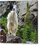 Curious Goat Acrylic Print