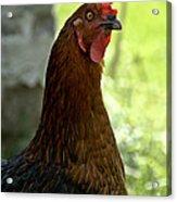 Curious Hen Acrylic Print