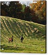 Curious Horses Acrylic Print