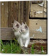 Curious Kittens Acrylic Print