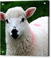 Curious Lamb Acrylic Print