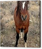 Curious Mustang Acrylic Print