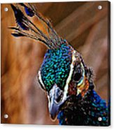 Curious Peacock Digital Art Acrylic Print