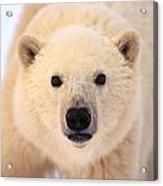 Curious Polar Bear Acrylic Print