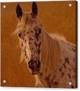 Curious Pony With Spots Acrylic Print