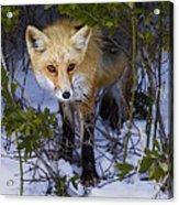 Curious Red Fox Acrylic Print