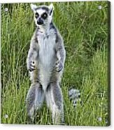 Curious Ring-tail Acrylic Print