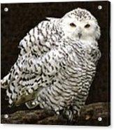 Curious Snowy Owl Acrylic Print