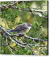 Curious Warbler Acrylic Print