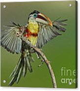 Curl-crested Aracari About To Perch Acrylic Print
