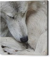 Curled Up Acrylic Print