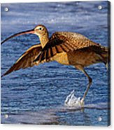 Curlew Preparing For Take Off Acrylic Print