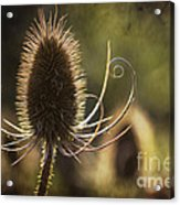 Curly And Spiky. Acrylic Print