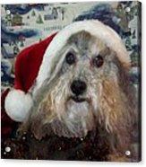 Curlys Christmas Acrylic Print by Rosalie Klidies