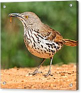 Curvedbill Thrasher With Grub Acrylic Print