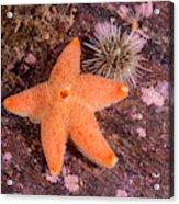 Cushion Winged Sea Star Acrylic Print