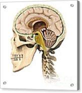 Cutaway View Of Human Skull Showing Acrylic Print