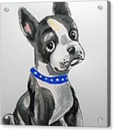 Boston Terrier Wall Art Acrylic Print