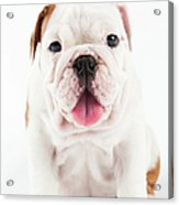 Cute Bulldog Puppy On White Background Acrylic Print