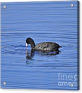 Cute Coot Acrylic Print by Al Powell Photography USA
