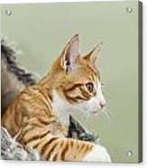 Cute Ginger Kitten On The Loookout Acrylic Print