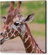 Cute Giraffe Portrait  Acrylic Print