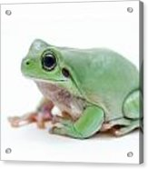 Cute Green Frog Acrylic Print
