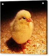 Cute Little Chick Acrylic Print
