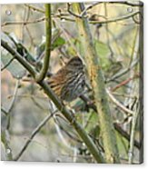 Cute Little Thrush Acrylic Print